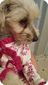 Yorkie, Yorkshire Terrier Puppy for adoption in Huntsville, Tennessee - Little Bit