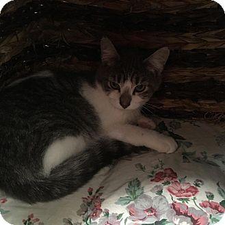 Domestic Shorthair Kitten for adoption in Westminster, California - Nettle