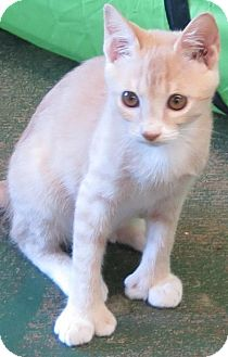 Domestic Shorthair Cat for adoption in Gonzales, Texas - Picasso