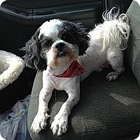 Shih Tzu/Poodle (Miniature) Mix Dog for adoption in Acworth, Georgia - Dooley
