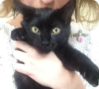 Domestic Mediumhair Kitten for adoption in St. Louis, Missouri - Delilah