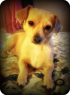 Dachshund/Chihuahua Mix Dog for adoption in Tijeras, New Mexico - Coraline