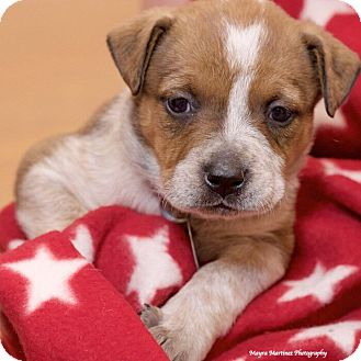 Australian Cattle Dog/Labrador Retriever Mix Puppy for adoption in Marietta, Georgia - Muna
