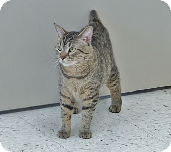 Domestic Shorthair Cat for adoption in Chambersburg, Pennsylvania - Spot