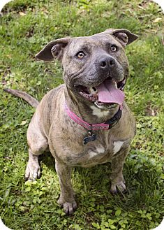 American Pit Bull Terrier/Pit Bull Terrier Mix Dog for adoption in Greendale, Wisconsin - Honey (Adoption Fee Waived)