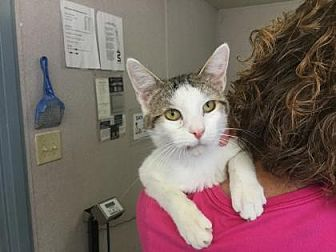 Domestic Shorthair/Domestic Shorthair Mix Cat for adoption in Fresno CA, California - Clyde