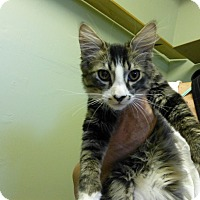 Domestic Mediumhair Kitten for adoption in Quincy, California - Zorro