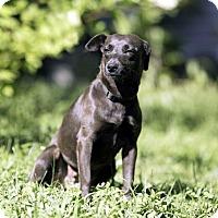 Adopt A Pet :: PEPSI-FOSTER NEEDED - Washington, DC