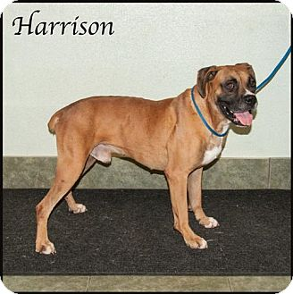 Boxer Mix Dog for adoption in Ada, Oklahoma - Harrison