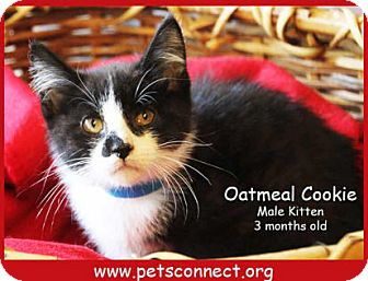 Domestic Shorthair Kitten for adoption in South Bend, Indiana - Oatmeal Cookie
