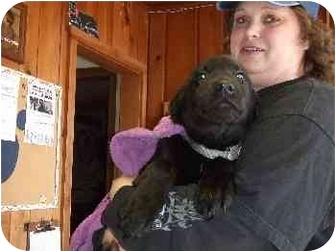 Labrador Retriever/German Shepherd Dog Mix Puppy for adoption in Mason City, Iowa - Little Dude