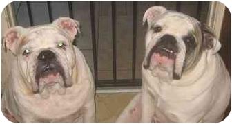 English Bulldog Dog for adoption in San Diego, California - Beavis