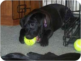 Labrador Retriever Mix Puppy for adoption in Torrington, Connecticut - Ella