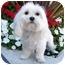 Photo 2 - Maltese Dog for adoption in Los Angeles, California - SKIPPER