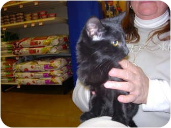 Domestic Shorthair Kitten for adoption in New Carlisle, Ohio - Fiona