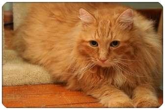Domestic Longhair Cat for adoption in Sterling Heights, Michigan - Toby - ADOPTED!