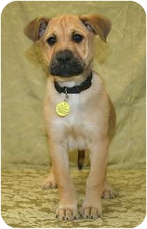 Boxer Mix Puppy for adoption in Westminster, Colorado - CHESTNUT