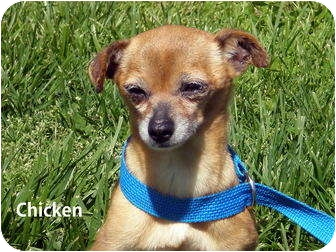 Chihuahua Mix Dog for adoption in Gallatin, Tennessee - Chicken
