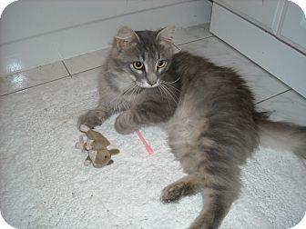 Maine Coon Cat for adoption in Arlington, Virginia - Grainger