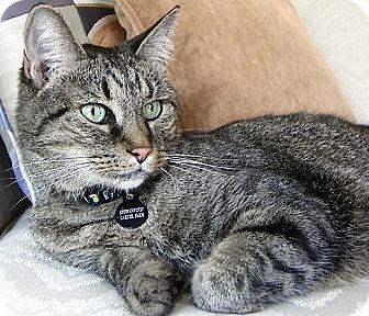 Domestic Mediumhair Cat for adoption in Alexandria, Virginia - Epiphany