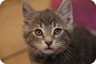 Domestic Mediumhair Kitten for adoption in Byron Center, Michigan - Yeardley