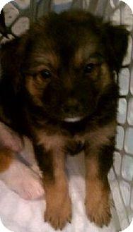 German Shepherd Dog/Collie Mix Puppy for adoption in Orland Park, Illinois - Puppy 1
