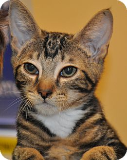 Domestic Shorthair Kitten for adoption in Atlanta, Georgia - Melon