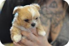 Chihuahua/Shih Tzu Mix Puppy for adoption in Baton Rouge, Louisiana - Mirabelle