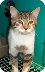Domestic Shorthair Cat for adoption in Gaffney, South Carolina - Edgar