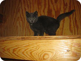 Domestic Shorthair Kitten for adoption in Monterey, Virginia - Truman