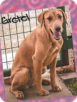 Irish Wolfhound Mix Dog for adoption in Flower Mound, Texas - Gretel