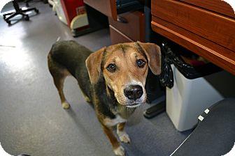 Beagle Mix Dog for adoption in Edwardsville, Illinois - Bunny