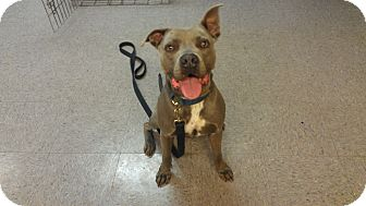 American Pit Bull Terrier/American Staffordshire Terrier Mix Dog for adoption in DFW, Texas - Jax