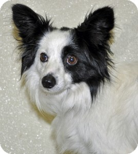 Papillon Mix Dog for adoption in Port Washington, New York - Rico