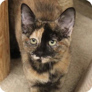 Domestic Shorthair Kitten for adoption in Naperville, Illinois - Ulyssa