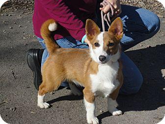 Corgi Mix Puppy for adoption in Craig, Colorado - Randi