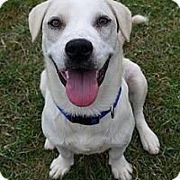 Adopt A Pet :: Stitch - Baton Rouge, LA