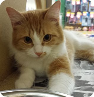 Domestic Mediumhair Cat for adoption in Hillside, Illinois - Trouble