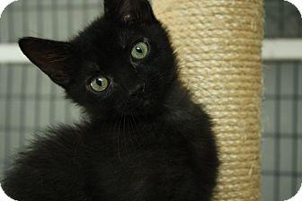 Domestic Shorthair Kitten for adoption in Covington, Louisiana - Owen