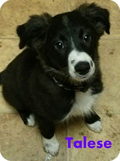 Border Collie Puppy for adoption in House Springs, Missouri - Talesa