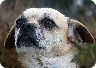 Pug/Beagle Mix Dog for adoption in Berkeley, California - Pugsly