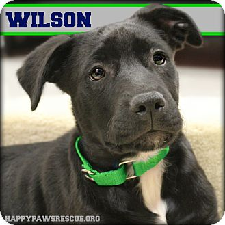 American Staffordshire Terrier/Australian Shepherd Mix Puppy for adoption in South Plainfield, New Jersey - Wilson