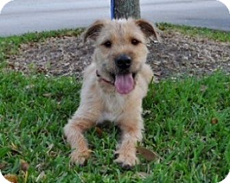 Wheaten Terrier Mix Dog for adoption in West Palm Beach, Florida - Riley