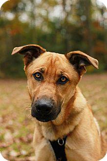 Shepherd (Unknown Type) Mix Dog for adoption in Burgaw, North Carolina - Champ