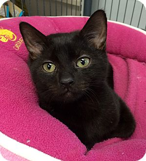 Domestic Shorthair Kitten for adoption in Wayne, New Jersey - S'mores