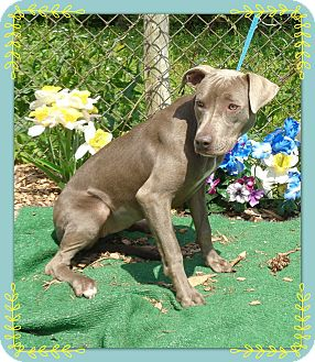 Vizsla Mix Dog for adoption in Marietta, Georgia - MINDY