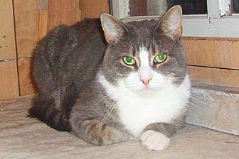 Domestic Shorthair Cat for adoption in Chapman Mills, Ottawa, Ontario - BIG BOY