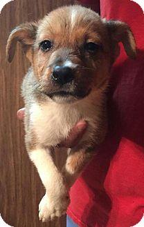 Sheltie, Shetland Sheepdog Mix Puppy for adoption in Ocala, Florida - Copper