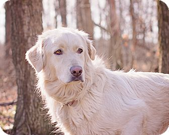 Labrador Retriever Mix Dog for adoption in Lewisville, Indiana - Blondie