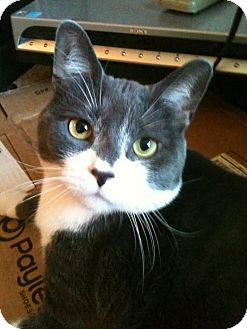 Domestic Shorthair Cat for adoption in Baltimore, Maryland - Schroader - COURTESY POST